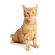 Pretty Orange Cat Sitting Up Tall on White