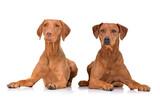 Studio shot of an adorable hungarian vizsla and a mixed breed dog