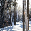backlit snow falling through a forest with Birch trees in Maine.