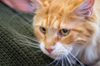 Adorable Ginger Maine Coon Cat at annual cats show