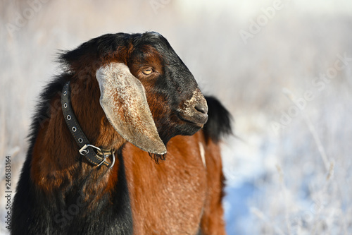 Portrait of a brown goat closeup, on winter background. Outdoors.
