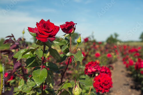 colorful fields with blooming red roses, summer outdoors. © denfotoblog