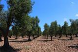 Olive grove on peninsula Gargano, South Italy - 246601978