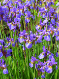 A mass of mauve iris flowers in a garden flowerbed.