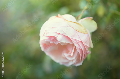 Close up photograph of a single pink Eden Rose in the garden