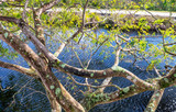 Beautiful Tree over Everglades Swamps - 246654597