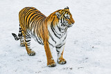 Tiger on the snow at sunny winter day. - 246659395