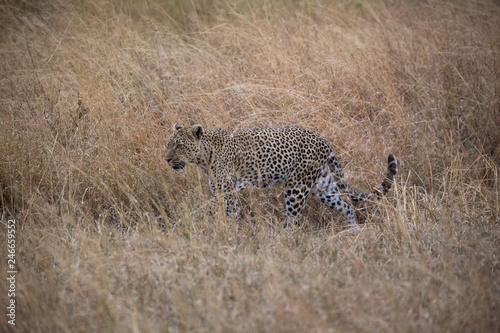 Leopard (Panthera pardus) © EinBlick