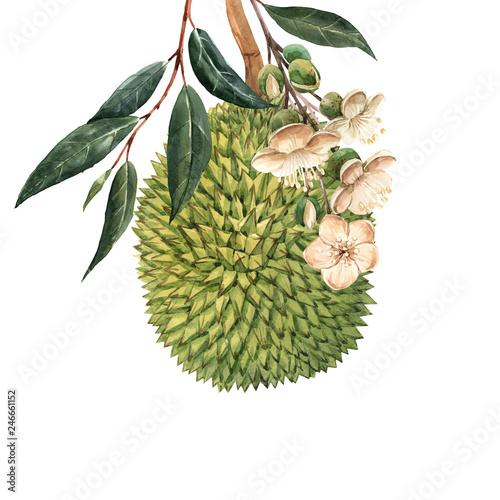 Watercolor durian tropical fruit illustrtion