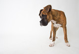 Cachorro de Boxer - 246665307