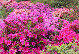 Rhododendron in full bloom with bright pink, coral and magenta flowers. Blooming azalea bushes with plenty of buds and flowers in spring park.