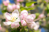 cute color of apple trees in spring. macro. spring background. space for text
