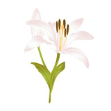 Lily white  Lilium candidum  fourth a white flower with leaves on a white background  vector illustration editable Hand drawn