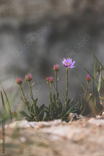 Purple flower on rock - 246687765