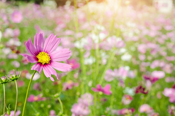 Landscape nature background of beautiful pink and red cosmos.