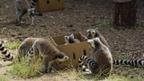 A number of ring-taiedl lemurs playing with, and around, a cardboard box - 246728501