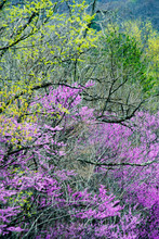"""Постер, картина, фотообои """"Wild Dogwoods and Redbuds are blooming together in the forest."""""""