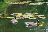 A pair of Canada Geese watch Coy Fish in a clear pond.