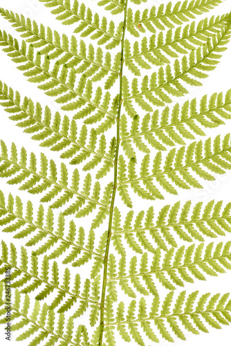 Green fern leaves isolated on white background. Green sprig of fern.