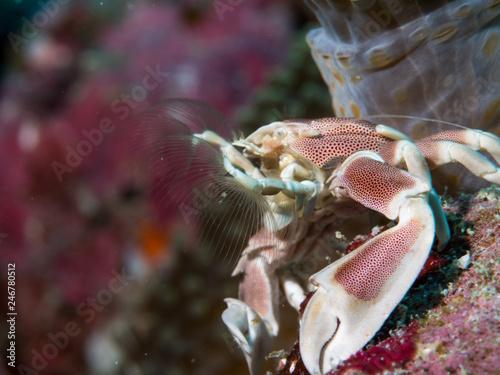 Porcline crab - 246780512