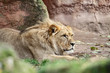 a young male lion is lying and watching in front of red rocks