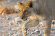 close view of young lion stalking in wildlife