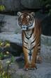 Wunderschöner Tiger