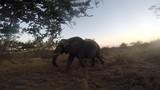 Elephant Passing Hidden Camera During Twilight In The Bush, Safari Vehicle Tracking Animal. - 246813343