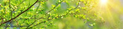 New birch leaves - 246815372