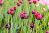 Withering tulips  in the field of pink tulips. Selective focus. International women day.