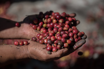 organic red berries coffee beans in farm