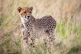 A very beautiful cheetah in the grass of the savannah is watching for somethings
