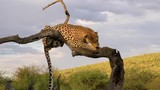 Leopard sitting in a tree, eating a chunk of meat. - 246857532