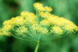flower dill plant close-up, growing in the garden - 246857791