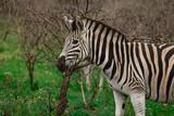 Zebra in front of a sicklebush in south africa zulu land