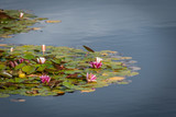 Water lily, aquatic plant with flowers - 246865587