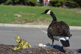 goose and goslings - 246865947