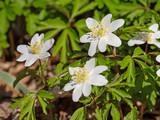 Blühende Buschwindröschen, Anemone nemorosa