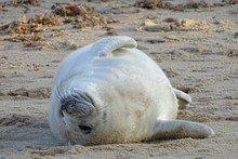 "Постер, картина, фотообои ""Horsey grey seals"""