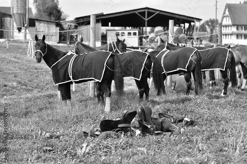 fototapeta na ścianę Fresh polo horses in blankets are waiting tied up. Horizontal, side view, black and white.