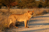 Young male African lion (Panthera leo) in late afternoon light, South Africa. - 246930396