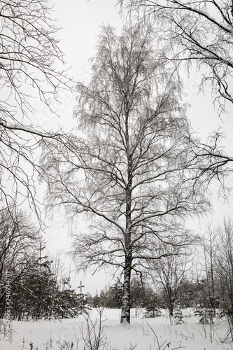 branches of a birch tree covered with snow in winter forest