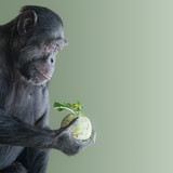 Portrait of troubled Chimpanzee in profile holding a cabbage isolated at smooth green background, closeup, details