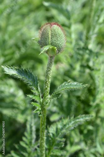 Oriental poppy Feuerriese - 246974950