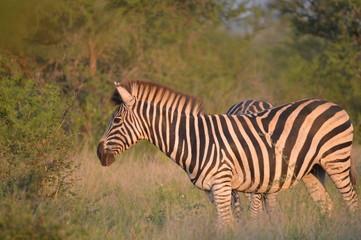 Portrait of a Burchell's zebra in a nature reserve in South Africa