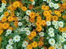 """Постер, картина, фотообои """"Zinnia flower volume 665555555"""""""