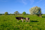 Cow and calf graze on a meadow at the summer - 246984593