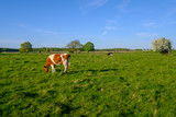 Cow grazes on a meadow at the summer