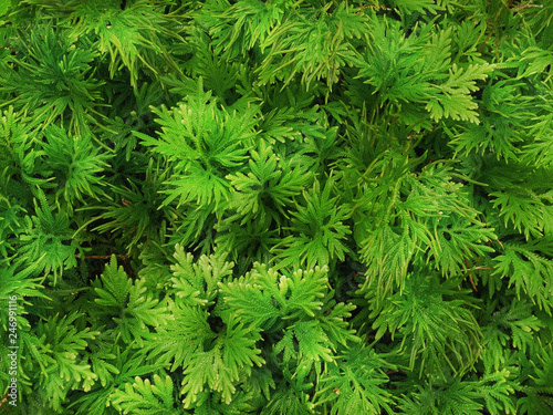 Full Frame Background of Green Fern with Tiny Leaves