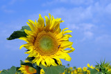Sunflowers during flowering